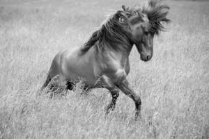 Vegetabilsk olie i hestens foder kan være en god energikilde, ifølge forskere.